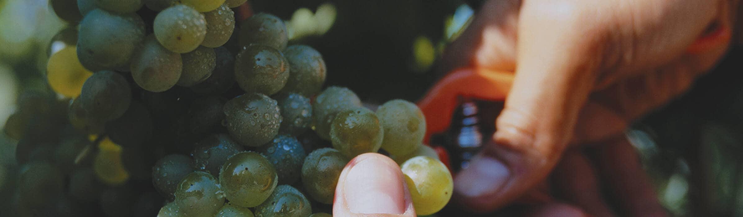 Veuve Clicquot - The Harvest